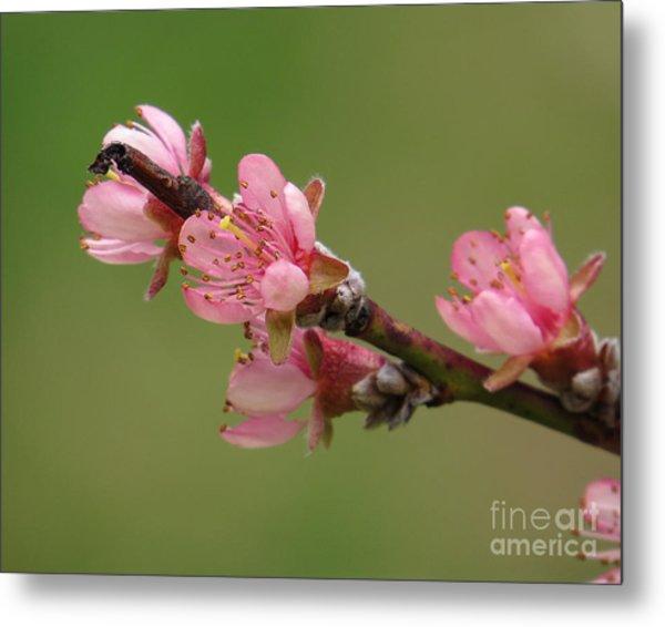 Peach Blossoms II Metal Print