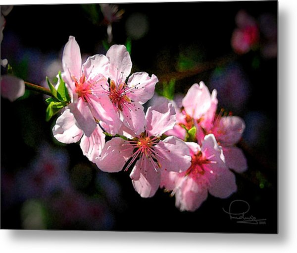Peach Blossoms Metal Print