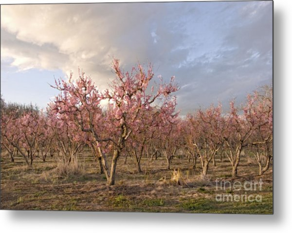 Peach Orchard Metal Print