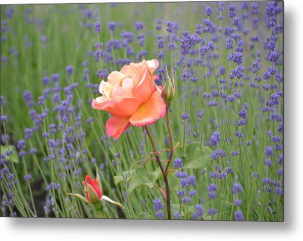 Peach Roses In A Lavender Field Of Flowers Metal Print