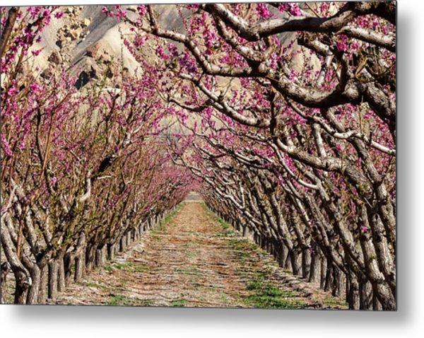 Peach Tree Tunnel Metal Print