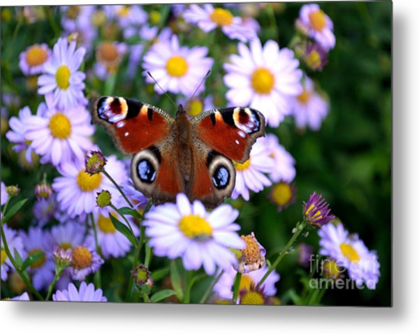 Metal Print featuring the photograph Peacock Butterfly Perched On The Daisies by Scott Lyons