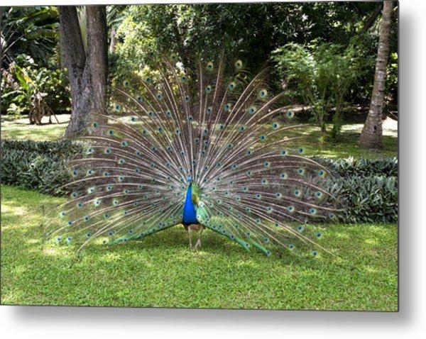 Peacock Displaying Feathers Metal Print