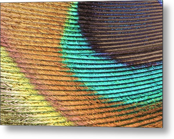 Peacock Feather Metal Print by Ted Kinsman/science Photo Library
