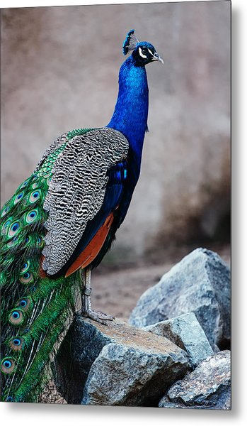 Peacock - National Bird Of India Metal Print