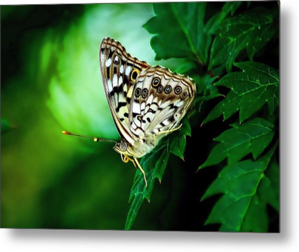 Pearly-eye Butterfly Metal Print