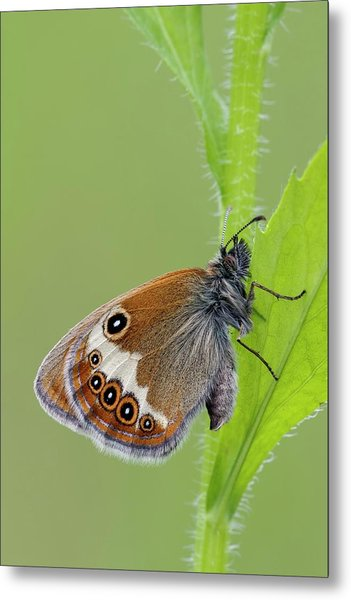 Pearly Heath Butterfly Metal Print
