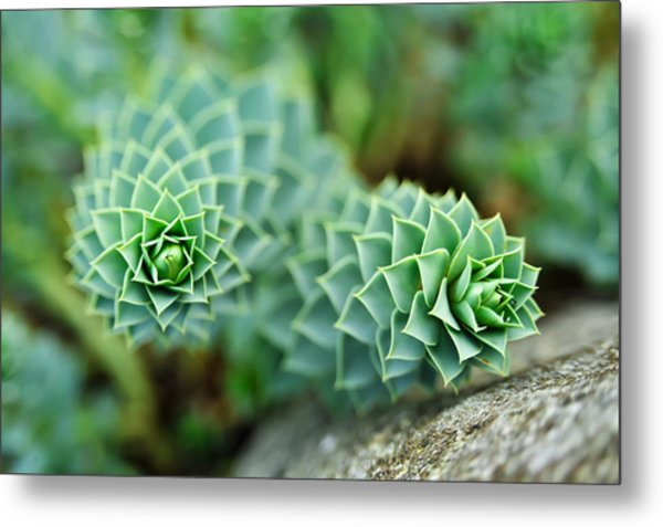 Pearly Succulents Metal Print