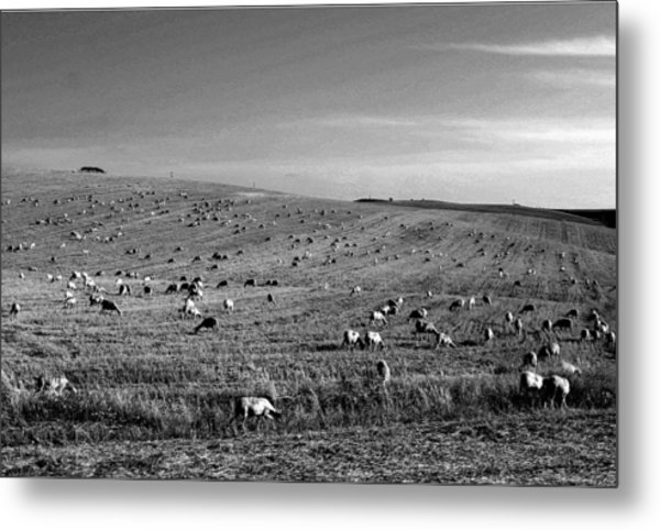 Sheep Grazing In The Countryside Tarquinian Metal Print