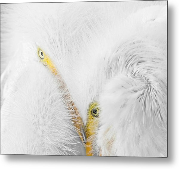 Peering Thru Feathers Metal Print