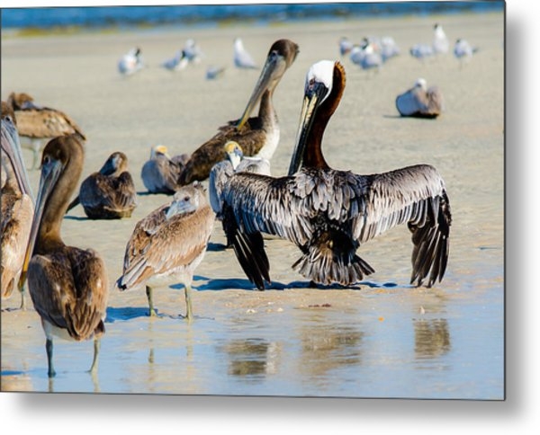 Pelican Drying Metal Print