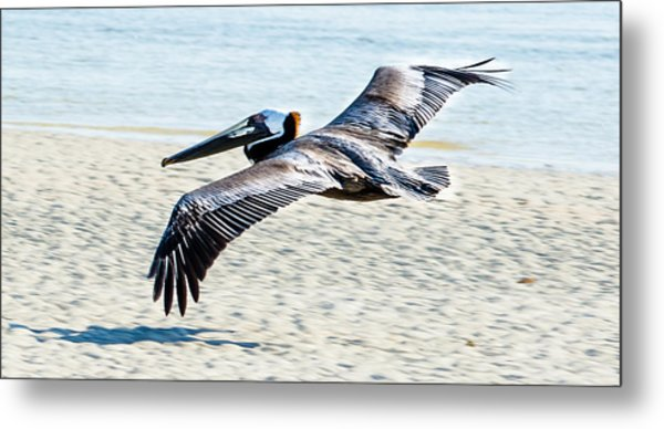 Pelican Flying Metal Print