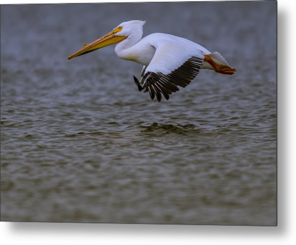 Pelican In Flight Metal Print