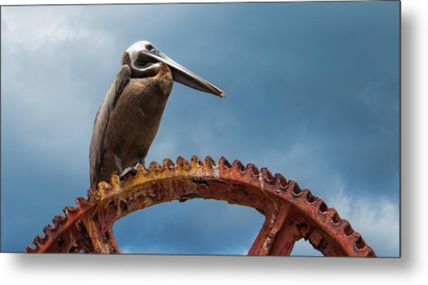 Pelican In St. Croix Metal Print