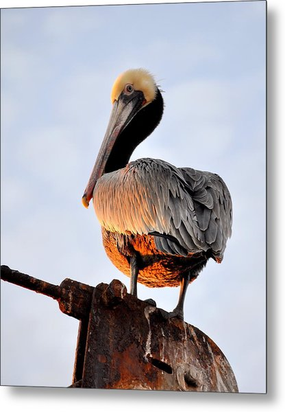Pelican Looking Back Metal Print