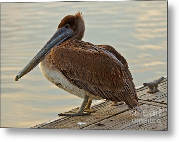 Pelican On The Dock Metal Print