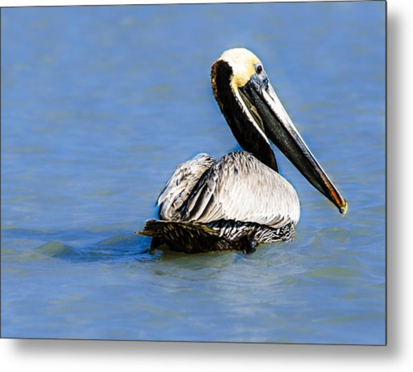 Pelican Swimming Metal Print