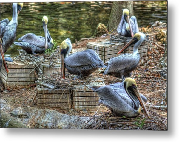 Pelicans By The Dock Metal Print
