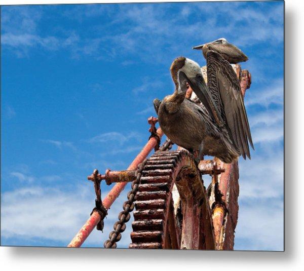 Pelicans In St. Croix Metal Print
