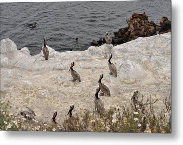 Pelicans Seals N Daisies  Metal Print