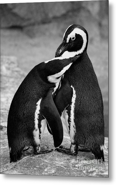 Penguin's Preening Black And White Metal Print