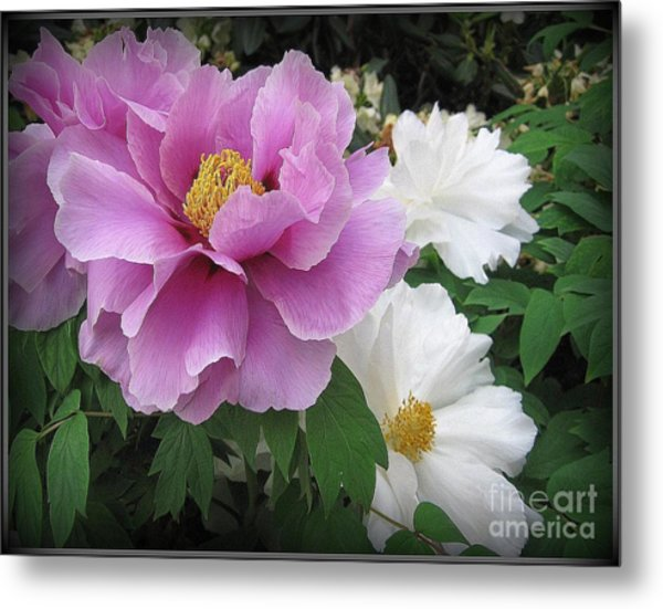 Peonies In White And Lavender Metal Print