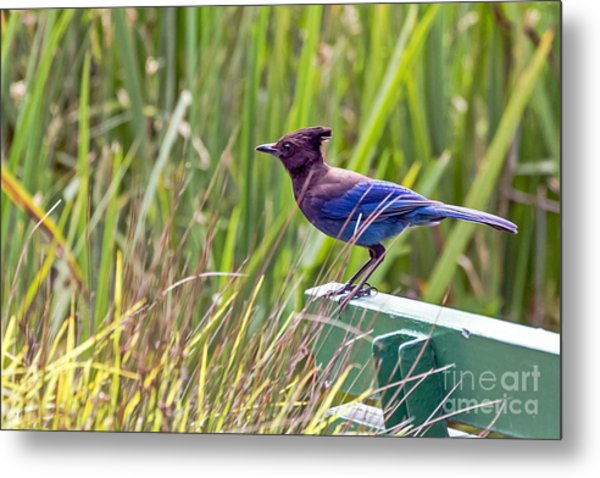 Perching Jay Metal Print