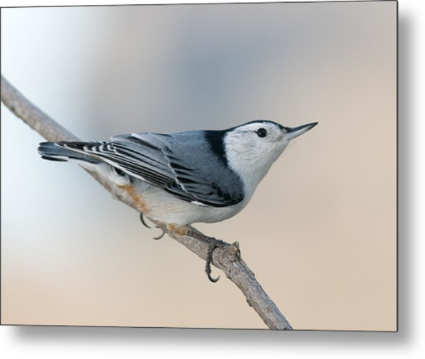 Perching Nuthatch Metal Print