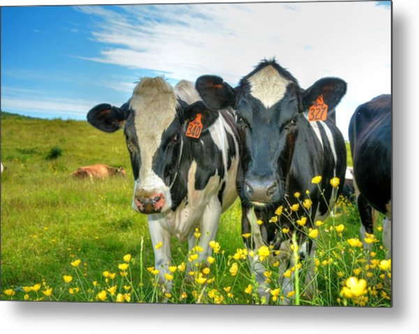 Percy's Holsteins Metal Print