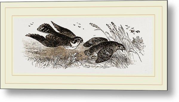 Peregrine Falcon And Partridge Metal Print