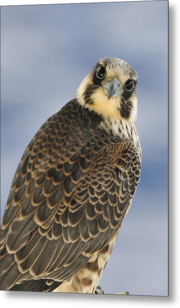 Peregrine Falcon Looking At You Metal Print
