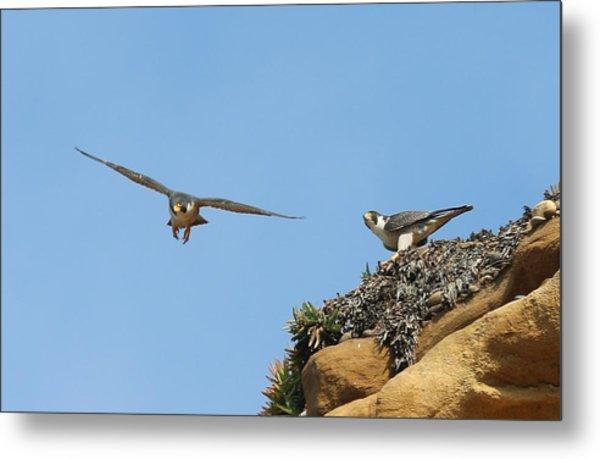 Peregrine Falcons - 1 Metal Print