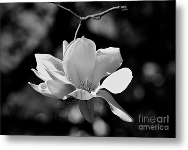 Perfect Bloom Magnolia In White Metal Print