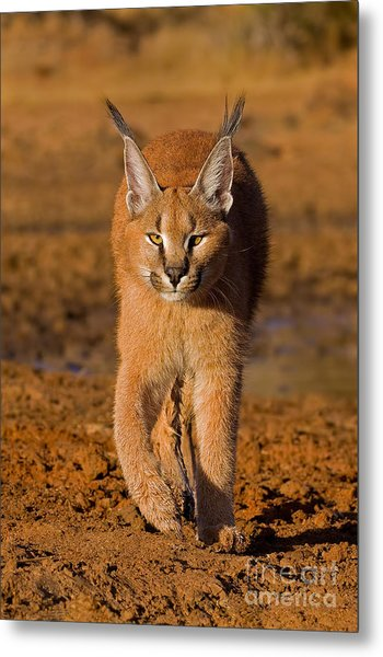 Perfect Composure Metal Print by Ashley Vincent