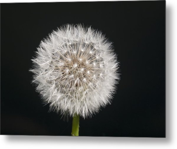 Perfect Puffball Metal Print