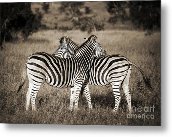 Perfect Zebras Metal Print