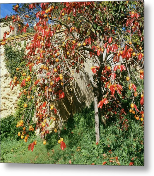 Persimmon Tree With Fruit Metal Print by Mark De Fraeye/science Photo Library