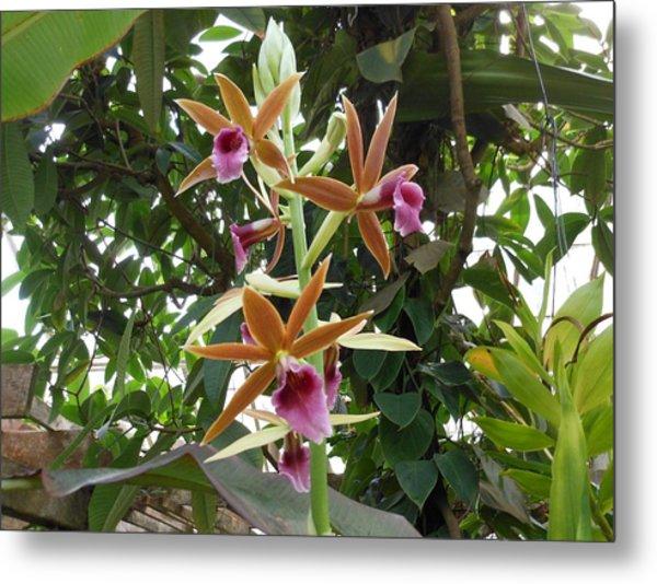 Phaius Orchids Metal Print
