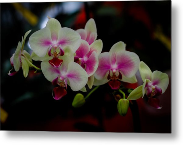 Phalaenopsis Pink Orchid Metal Print by Donald Chen