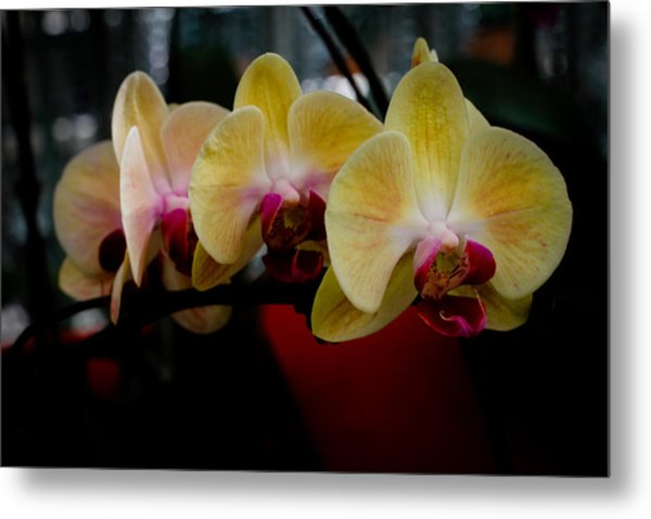 Phalaenopsis Yellow Orchid Metal Print by Donald Chen