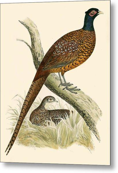 Pheasant Metal Print