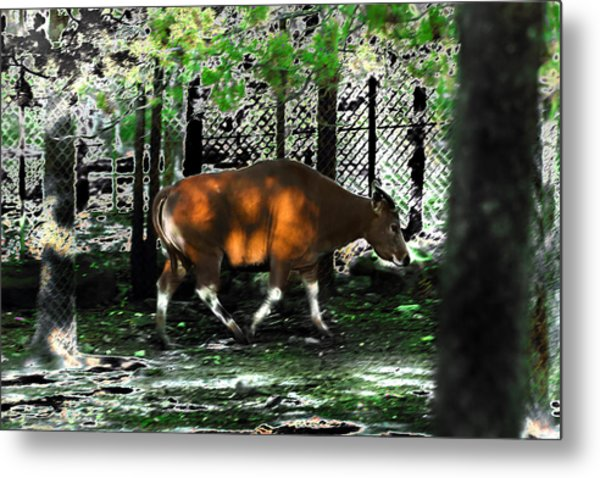 Phenomena Of Banteng Walk Metal Print