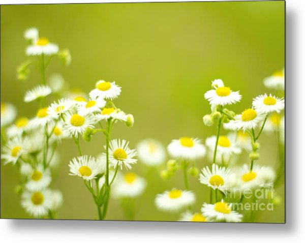 Philadelphia Fleabane Wildflowers In Soft Focus Metal Print