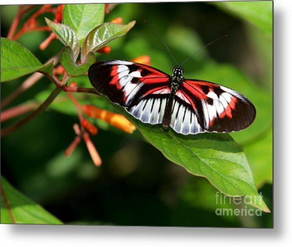 Piano Key Butterfly On Fire Bush Metal Print
