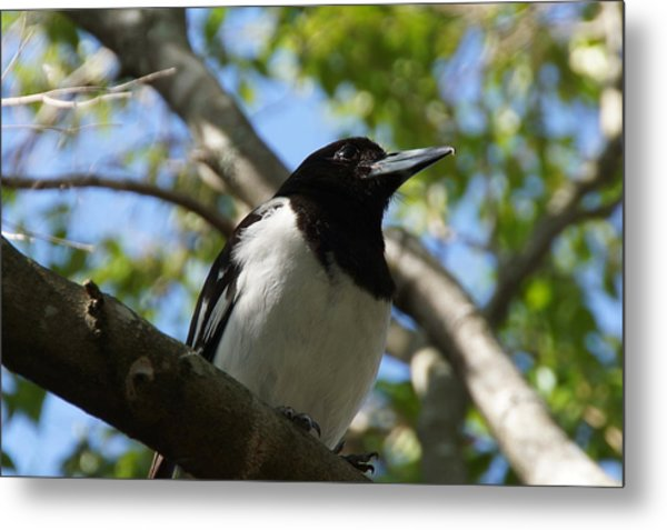 Pied Butcher Bird Metal Print by Dani Katz