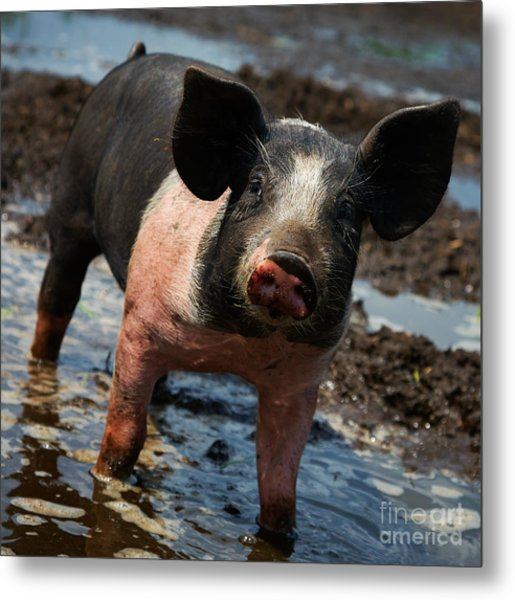 Pig In The Mud Metal Print