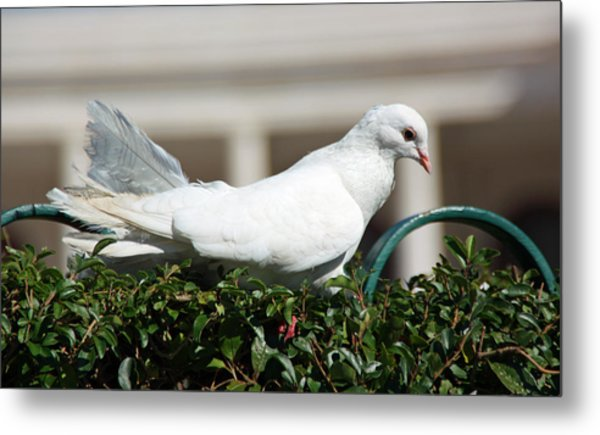 Pigeon Metal Print by Dave Dos Santos