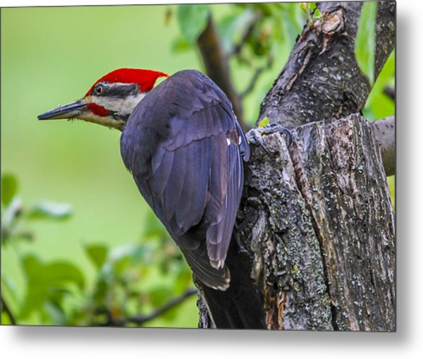 Pileated Stare Metal Print