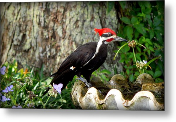 Pileated Woodpecker Metal Print by Lynn Griffin