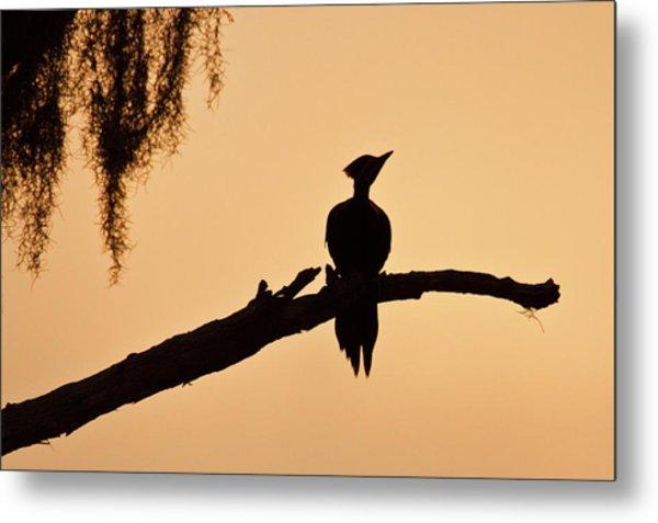 Piliated Woodpecker (dryocopus Pileatus Metal Print